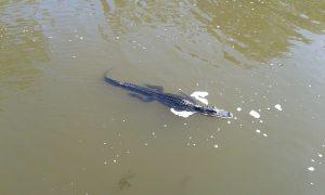 2016-09-21-alligator-2